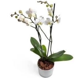 Milchweiße Orchidee
