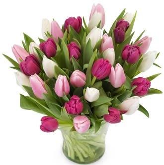 Tulpen rosa - lila