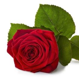 Rote Rosen - Rote Rose